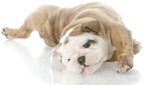 англійський бульдог щенок