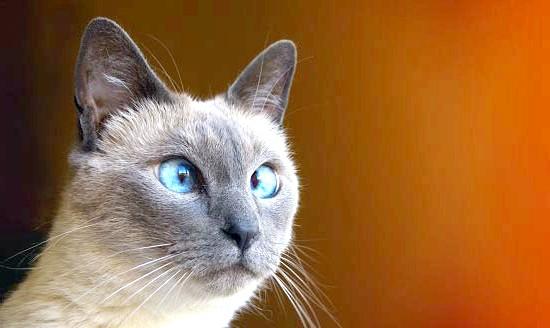 чим годувати сіамського кошеня