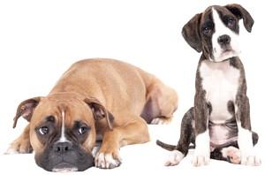 собака боксер і щеня