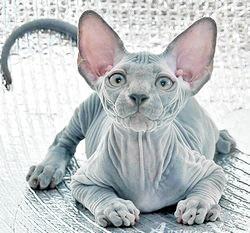 Характер кішки сфінкс