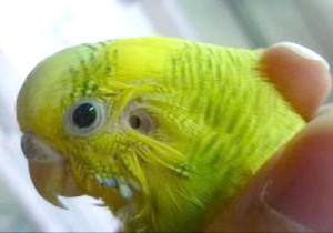 Фото - Як лікувати очинить кліща у хвилястого папугу