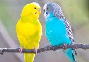 Фото - Як навчити говорити хвилястого папугу
