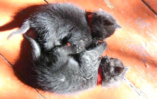 як назвати чорного кошеня
