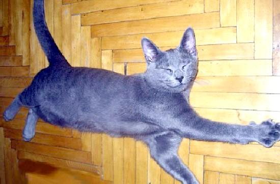 російська блакитний кошеня фото