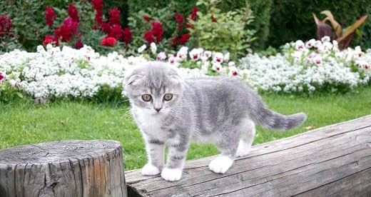 як назвати шотландського висловухого кошеня