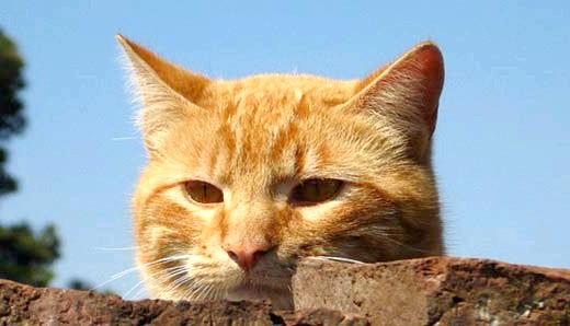 чим годувати кастрованого кота