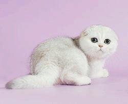 Яка порода кішок найласкавіша
