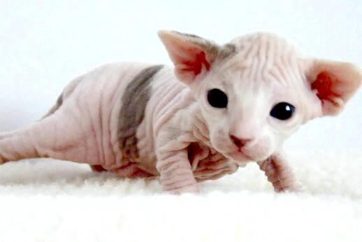 Двотижневий кошеня сфінкс