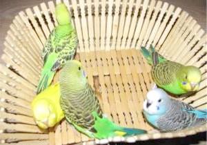 Фото - Линька у хвилястих папуг