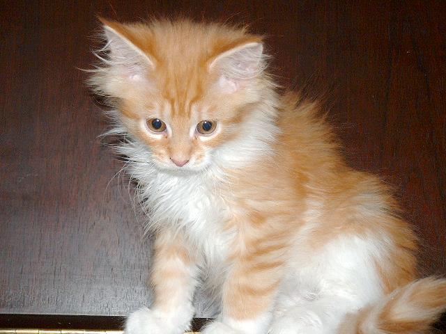 Кошеня Мейн-куна, 75 днів від народження