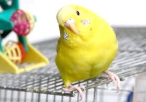 Фото - Розмір клітини для хвилястого папугу