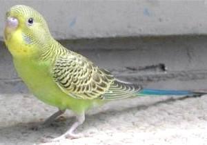 Фото - Скільки років живуть хвилясті папужки