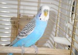Фото - Хвилястий папуга постійно чухається