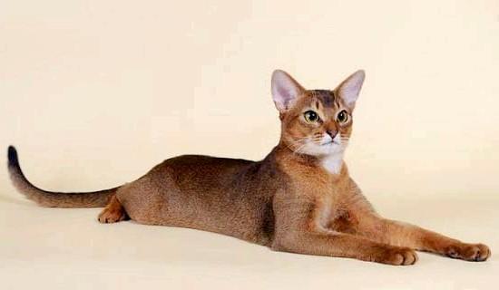 абиссинская кішка фото