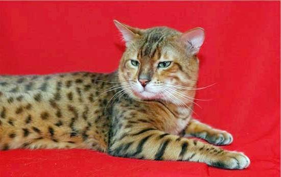 бенгальська кішка фото