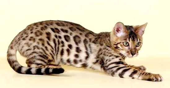 леопардова бенгальська кішка