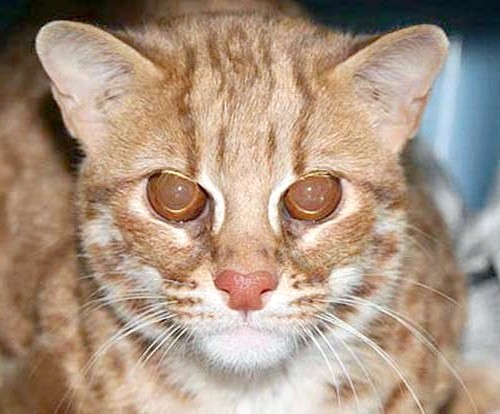 соррель бенгальський кошеня