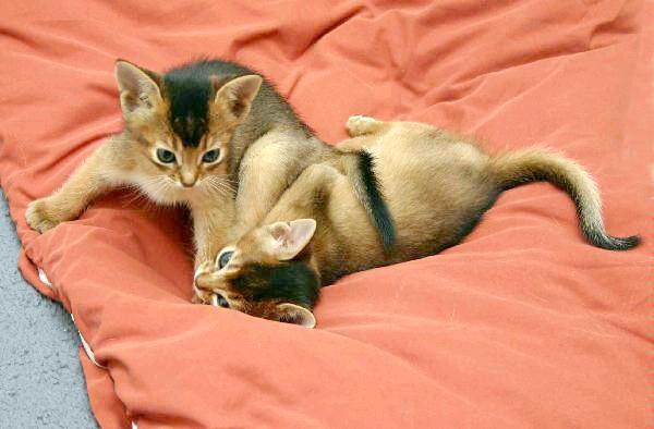 Абиссинские кошенята