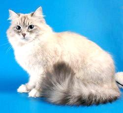 Характер невська маскарадна кішки