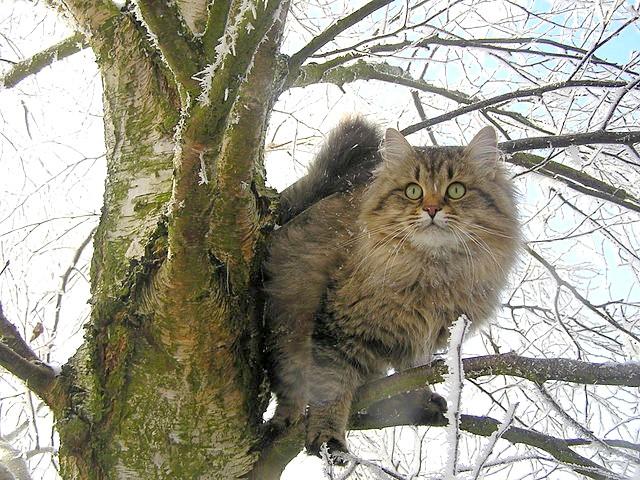 характер сибірської кішки