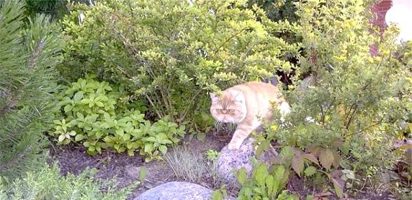 екзотична короткошерста кішка фото