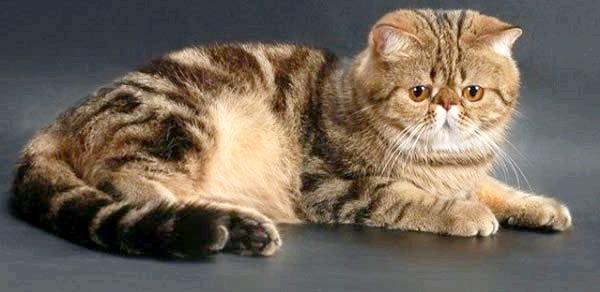 опис кішок екзотів фото