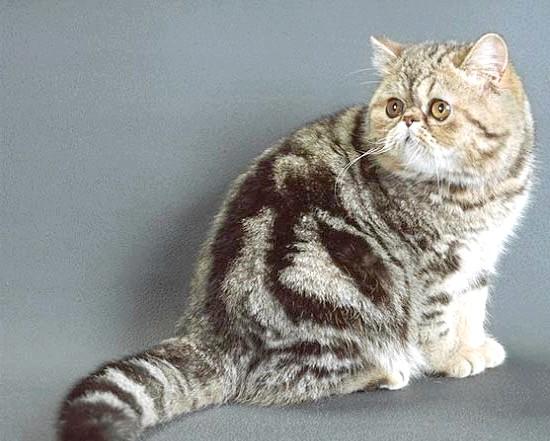 мармуровий окрас кошеня екзот фото