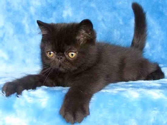 чорне забарвлення екзотична короткошерста фото