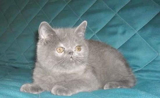 блакитне забарвлення кіт екзот фото