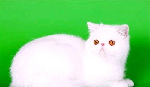 біла екзотична кішка фото