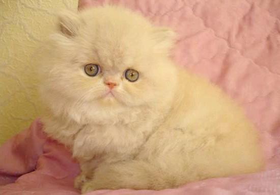 кремовий окрас кошеня екзот фото