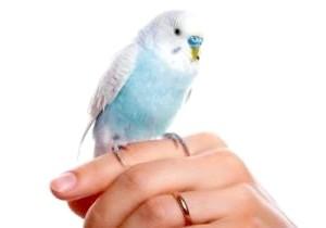 Фото - Як привчити папугу до рук