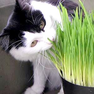 Яку траву люблять кішки
