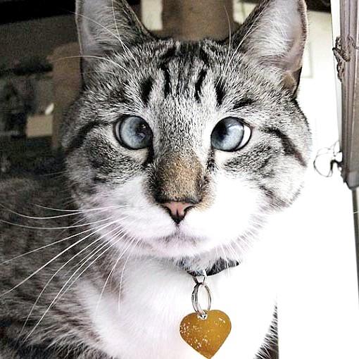 косоока кішка