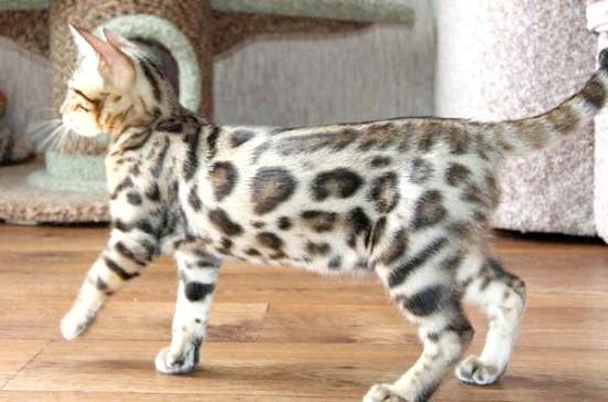 найкраща порода кішок