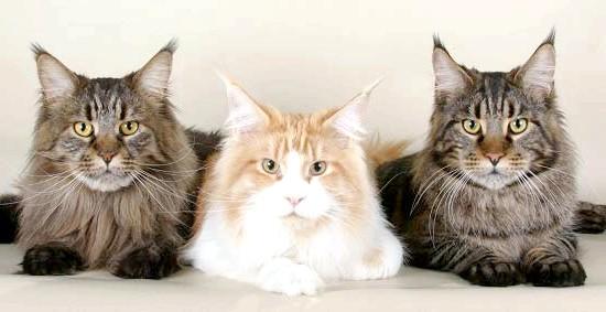 коти породи Мейн-кун
