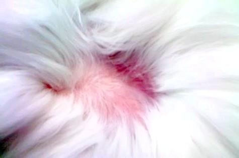 алопеція у кішок за вухами фото