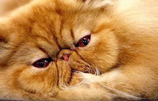 рудий перський кошеня фото