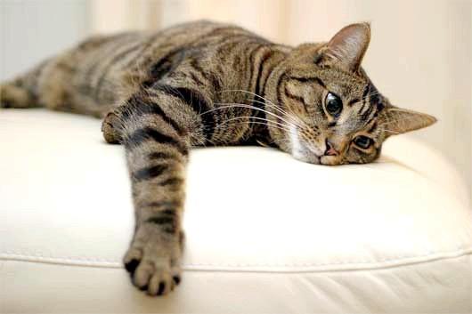 Фото - Плямисті і смугасті кішки