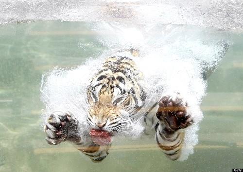 Фото - Чому кішки бояться води