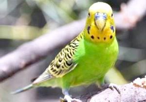 Фото - Пронос у хвилястого папугу