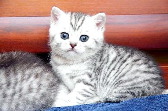 яка порода кішки з реклами вискас