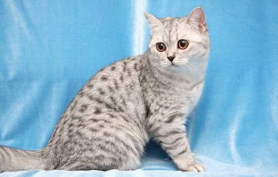 порода кота в рекламі Whiskas - британська
