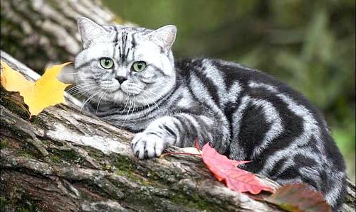 порода кошеня з реклами Віскаса