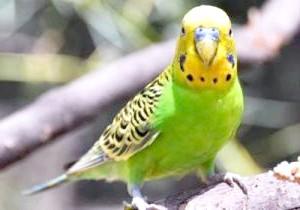 Фото - Тривалість життя хвилястих папуг