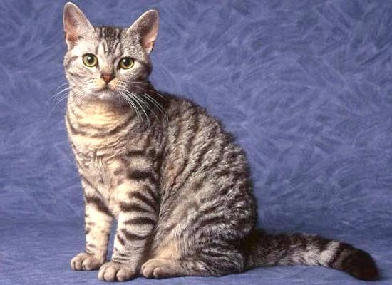 Американська жесткошерстная кішка найрідкісніша порода кішок