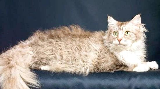 ЛаПерм - сама кучерява кішка