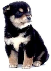 ротвейлер щеня
