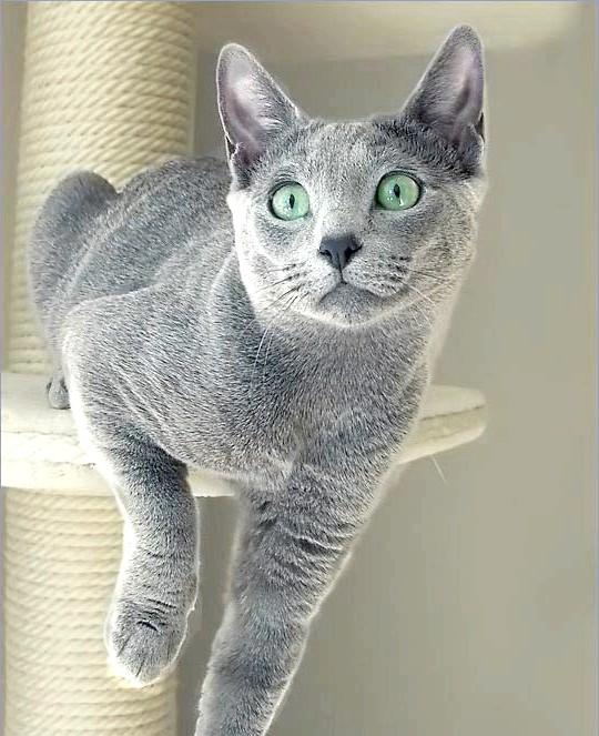 сірий окрас російський блакитний кіт фото
