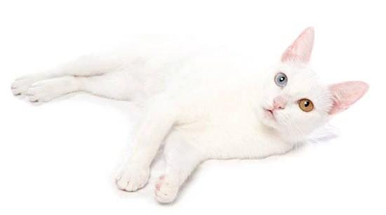 дорогі породи кішок Као мані
